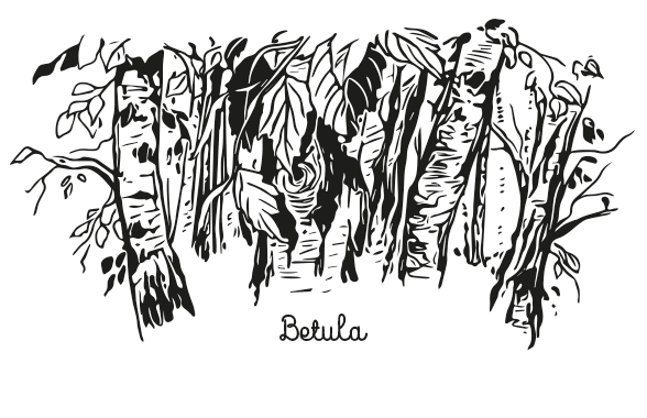 hand-drawn illustration of birch tree for packaging label design